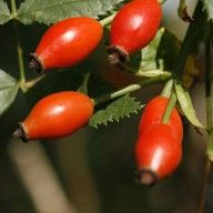 Rosehip syrup.. could add this to prosecco or champagne.. mmm