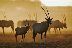 """Arabian Oryx. Wist. Visit Facebook: """"Animals are Awesome"""". Animals, Wildlife, Pictures, Photography, Beautiful, Cute."""