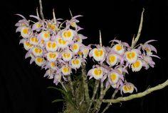 Dendrobium gratiosissimum - Flickr - Photo Sharing!