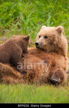 A Brown or Grizzly Bear cub nursing, Lake Clark National Park, Alaska.© Ron Niebrugge / Alamy