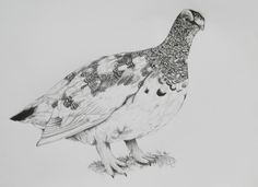 Rock ptarmigan  B/4 size , graphite pencil drawing      / bird / Bird Drawings, Pencil Drawings, Turkey Painting, Stamp Collecting, All Pictures, Graphite, Arctic, Birds, Illustrations