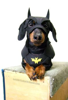 Super Cute Batman Dog Costume! http://www.celebritydachshund.com/2013/10/27/halloweenie-dachshund-costumes-contest/