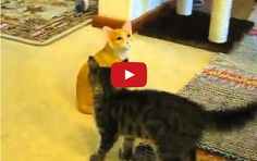 Youtuber MadWhiteSpy posted this video WITHOUT COMMENTARY. And you know what? It doesn't need any stinking commentary! It's a cat losing his shi shi over a cat statue. He doesn't get it, man. Makes...