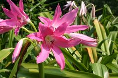 Crinum Lily for sale buy Crinum 'Mystery'