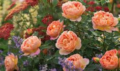 Perennial Combinations, Rose Combinations, Summer Borders, Planting Roses, Rose Gardening, Designing with Roses, English Roses, Rose Lady of Shalott, Nepeta Six Hills Giant, Rosa Lady of Shalott, Apricot English Roses, Achillea Paprika, Yarrow Paprika