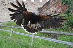 Falco di Harris - Donna