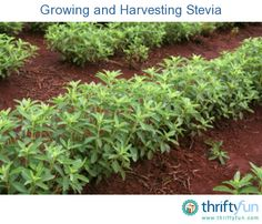 This guide is about growing and harvesting stevia. This natural sweetener can be grown in many gardens.