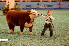 Mini hereford