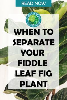 Many times when we acquire a new fiddle leaf fig, we might not just be getting one plant! Our fiddle leaf fig may actually be made up of several stems (or trunks, for larger plants) in the same pot. And sometimes these separate stems can fight for space and become rootbound very quickly, in which case ALL stems or trunks may suffer! This may require you to split your fiddle leaf fig into separate, smaller plants. Let's talk about the signs to watch for that let you know it's time to split. Fiddle Leaf Fig Tree, Tree Care, Large Plants, Plant Care, Dream Garden, Stems, Get One, Did You Know, Separate