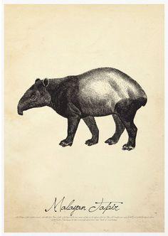 Malayan Tapir (S)