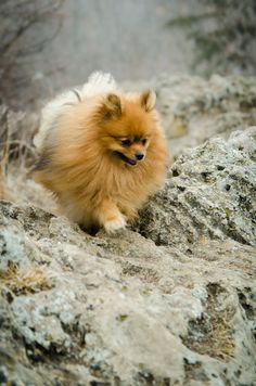 Marvelous Pomeranian Does Your Dog Measure Up and Does It Matter Characteristics. All About Pomeranian Does Your Dog Measure Up and Does It Matter Characteristics. Cute Puppies, Cute Dogs, Dogs And Puppies, Doggies, Animals And Pets, Baby Animals, Cute Animals, Beautiful Dogs, Animals Beautiful