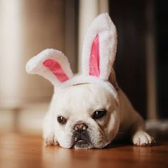 Follow Theo the bunny, he has all the chocolate, Theo Bonaparte, the French Bulldog Easter Bunny, @theobonapartethefrenchie instagram.