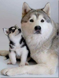 Love me a husky!