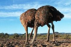 Ostrich Bury Head in Sand - Bing Images Ostrich Head In Sand, Head In The Sand, Weird Facts, Fun Facts, Fascinating Facts, Interesting Facts, Ferguson Riot, You Can't See Me, Animal Facts
