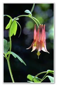 Columbine  The petals of this red-and-yellow, nodding flower are said to resemble doves, thus the name derives from the Latin word columba, or dove.