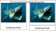 Shark Cards - Montessori 3-Part Classified Cards - Printable Montessori Learning Materials for home and school.