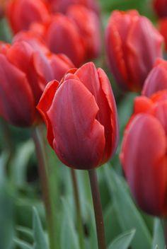 Tulipa 'Couleur Cardinal' (1845)
