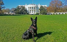 On Oct. two Secret Service dogs stopped a man who jumped the fence at the White House. A new book reveals what happened next. Dog Safety, Secret Service, Service Dogs, Shepherd Dog, Boston Terrier, Fence, Presidents, United States, Country