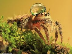 Macro Photos of Jumping Spiders Wearing Water Drops as Fancy Hats Cute Creatures, Beautiful Creatures, Jumping Spider, Fotografia Macro, Fancy Hats, Water Droplets, Fauna, Animal Photography, Wildlife Photography
