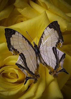 Exotic Butterfly On Rose by Garry Gay