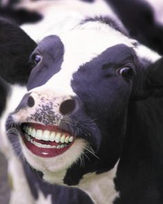 HAPPY COW ^^ Photo: This Photo was uploaded by Find other HAPPY COW ^^ pictures and photos or upload your own with Photobucket free image a. Funny Cow Pictures, Cow Photos, Random Pictures, Farm Animals, Funny Animals, Cute Animals, Funny Cows, Cow Facts, Photoshopped Animals
