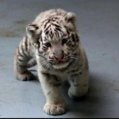 Baby tiger - look at its absolutely adorable face!