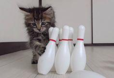 Teneri cuccioli Notizie: Il gattino Osamu: Campione di bowling/VIDEO