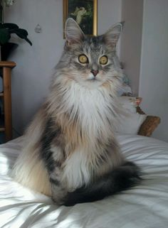 Serefina. Maine coon cat. Watching magpies nest on the roof!