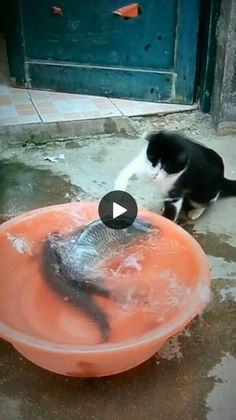 cat helps fish out of the water funny cats and dogs compilation. funny animals compilation try not to laugh. funny animals 2019 try not to laugh. Funny Cute Cats, Funny Cats And Dogs, Cute Kitten Gif, Cute Funny Animals, Cool Cats, Cute Puppies And Kittens, Kittens Cutest, Cats And Kittens, Kittens Meowing