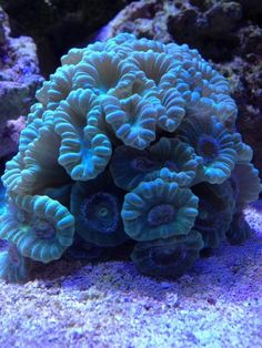 Candy Cane (trumpet) coral - good for beginners. Saltwater Aquarium Beginner, Saltwater Tank, Saltwater Fishing, Marine Aquarium, Marine Fish, Reef Aquarium, Arte Coral, Yellena James, Beautiful Sea Creatures