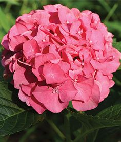 Hydrangea, Masja Compact hydrangea with vivid blooms..Buy 3 or more @ $11.95 ea. Produces armfuls of ball-shaped, pink-toned blooms against dark green, glossy leaves. Hardy, reliable and easy to grow. lifecycle: Perennial  Sun: Full Shade, Full Sun, Part Sun  Height: 3-4  feet Spread: 3-4  feet Uses: Borders, Cut Flowers, Dried Flowers  Bloom Season: Fall, Summer