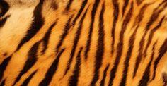 Tiger Stripes Wallpaper | Wall Decor