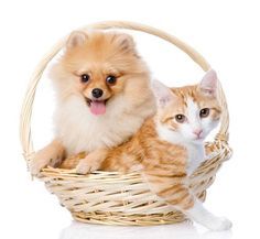 Pomeranian puppy with kitty...click to see here>> www.fundogpics.com/pictures-of-pomeranians.html