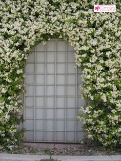 Toscaanse Jasmijn (Trachelospermum) - My Perfect Garden