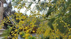 Primavera... ci siamo quasi.  #nature #natura #mimosa #spring #primavera #flowers #fiori #garden #giardino #livorno #toscana #tuscany #instalike #instamoment #instalife #l4l #like4like #likeforlike #yellow #giallo #rain #pioggia
