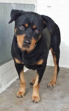 Saving Carson Shelter Dogs There are a bunch of gorgeous Rottweilers at the shelter and LADY is definitely one of them. She is so calm and sweet, she is amazing. Please take another look at her and SHARE, she needs some help. Thanks! #A3764602 My name is Lady and I'm an approximately 8 years old female rottweiler. I am not yet spayed. I have been at the Carson Animal Care Center since December 1, 2014. I will be available on December 4, 2014. You can visit me at my temporary home at ...