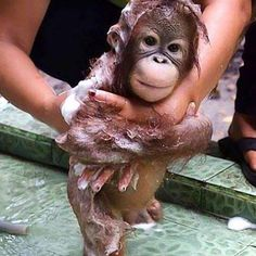 Really want a baby orang-utan 🐒❤️ #socute #babymonkey #iwantone #orang-utan #adorable