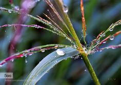Dew stem morning Dew stem morning