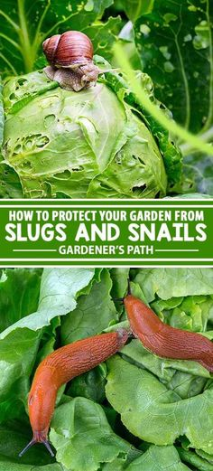 Slugs In Garden, Garden Insects, Garden Pests, Snails In Garden, Fruit Garden, Hydroponic Farming, Hydroponics, Organic Vegetables, Growing Vegetables