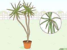 How to Care for a Madagascar Dragon Tree. The Madagascar dragon tree, or Dracaena marginata, is a reliable and low-maintenance indoor plant. If you live in a warm area with extremely mild winters, you can also keep this colorful tree. Dracena Plant, Dracena Marginata, Marginata Plant, Dragon Tree Care, Dragon Tree Plant, Madagascar Dragon Tree, Low Maintenance Indoor Plants, Colorful Trees, Plant Care