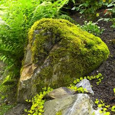 Add interest to the garden with moss-kissed rock nestled among ferns, golden creeping Jenny, & Euphorbia 'Diamond Frost'