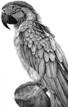 Parrot, black and white illustration. on Behance Parrot Drawing, Koi Fish Drawing, Parrot Painting, Cute Animal Drawings, Animal Sketches, Bird Drawings, Graphite Art, Graphite Drawings, Pencil Colour Painting