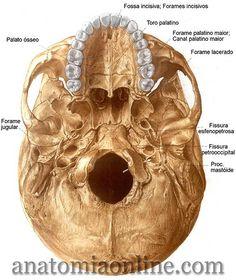 Anatomia Online - Crânio