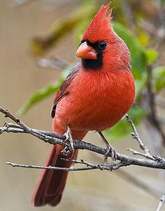 Northern Cardinal - Brightly colored bird lives defending its territory and family from many attackers. Exotic Birds, Colorful Birds, Pretty Birds, Beautiful Birds, Animals Beautiful, Bird Pictures, Animal Pictures, Cardinal Pictures, Cardinal Birds Meaning