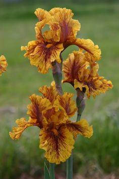 Brown Flowers, Iris Flowers, Pretty Flowers, Colorful Flowers, Most Beautiful Flowers, Beautiful Gardens, Blossom Flower, My Flower, Flowers Perennials