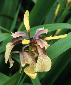 Iris foetidissima Fotografia de John Glover, uno de los primeros y de los mas importantes fotografos de jardin del Reino Unido