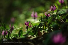 kohalmitamas:  dogtooth violets by holmatch