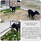 Irving, TX - Border Collie/Labrador Retriever Mix. Meet Mango, a for adoption. http://www.adoptapet.com/pet/15660025-irving-texas-border-collie-mix