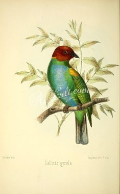 birds-16052 calliste gyrola  botanical floral botany natural naturalist nature flowers flower beautiful nice flora plants blooming ArtsCult.com Artscult ArtsCult vintage printable public domain 300 dpi commercial use 1800s 1700s 1900s Victorian Edwardian art clipart royalty free digital download picture collection pack paintings scan high qulity illustration old books pages supplies collage wall decoration ornaments Graphic engravings