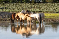 Reflection of a Mustang Family - horse photo by Belinda Greb